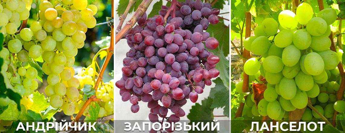 Виноград Андрійчик, Запорізький кишмиш, фото, опис