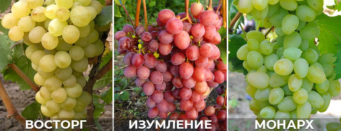 морозостойкий виноград: изумление, восторг, монарх, описание, фото