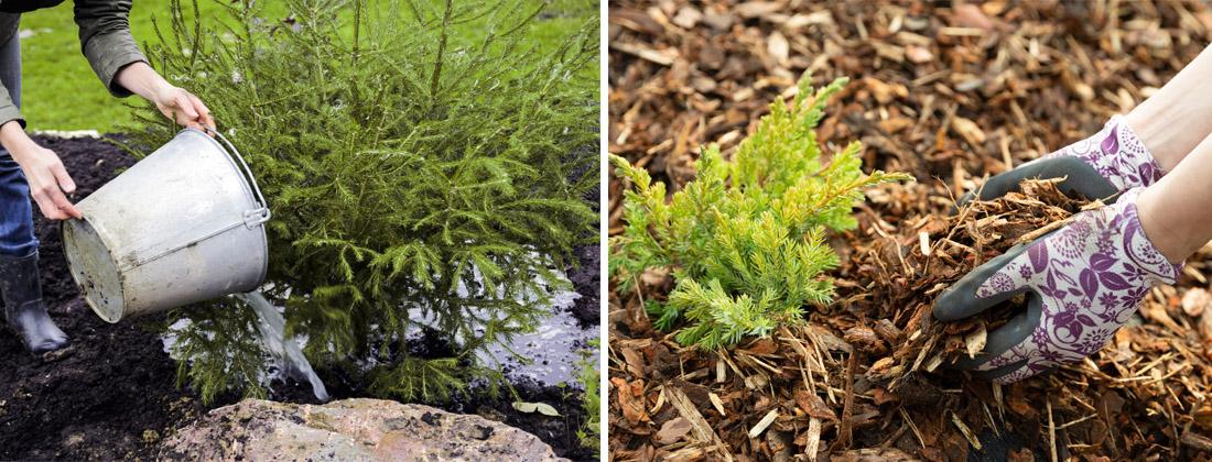 Хвойные растения, полив осенью, мульчирование