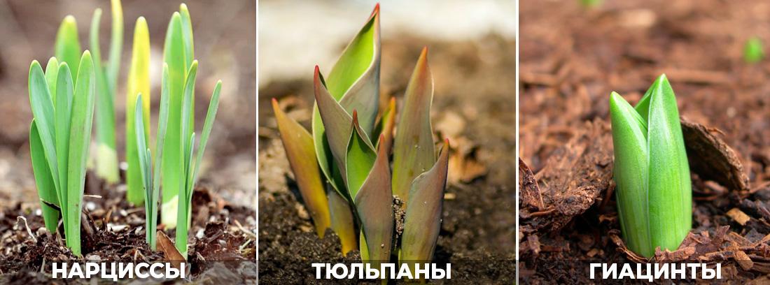 Луковичные посадка осенью, фото