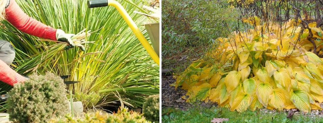 Обрезка лилейников и хосты осенью