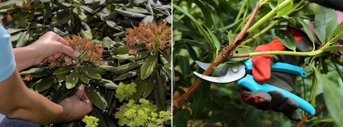 Рододендрон - удаление цветков, обрезка осенью