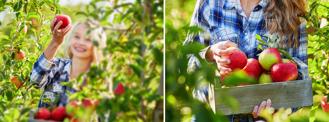 Сбор яблок и правила хранения
