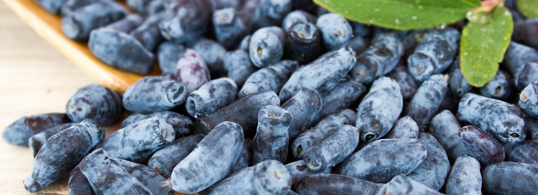 Жимолость - 6 правил ухода после сбора урожая