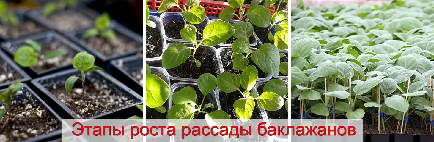 как посадить рассаду баклажан в стаканчики
