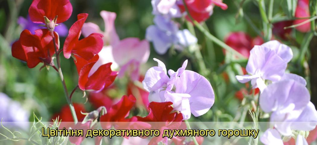 цветение душистого горошка