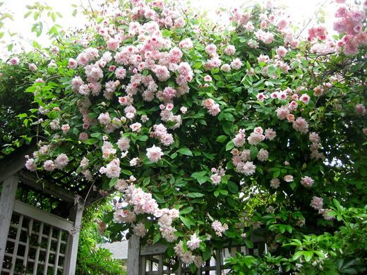 Правильная и своевременная обрезка плетистых роз – залог превосходного цветения