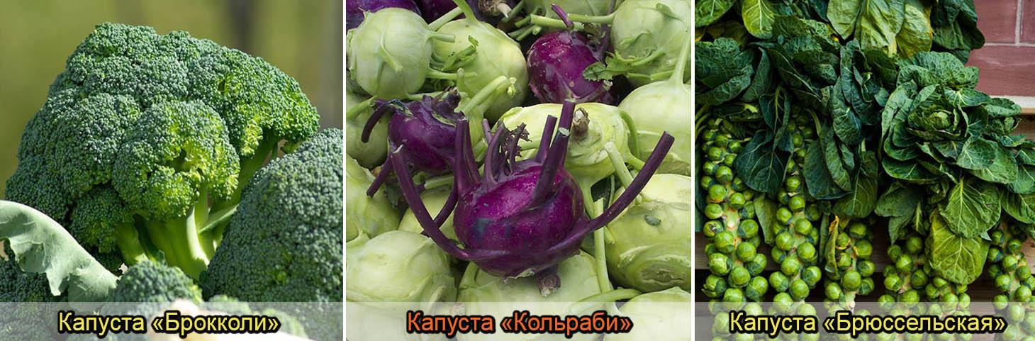 разновидность капусты
