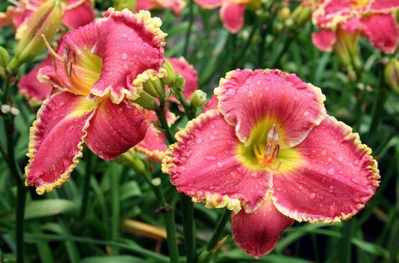 Лилейники в саду
