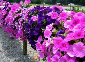 Агротехника выращивания петуний и сурфиний: обеспечиваем пышное цветение
