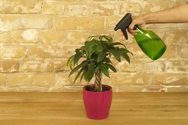 Позакореневе підживлення кімнатних рослин