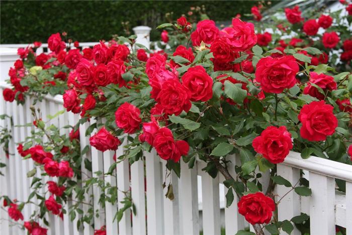 Подготовка роз к зиме: обеспечиваем сохранность розария
