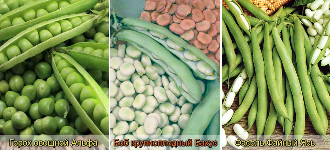 горох, фасоль. бобы, выращивание, фото