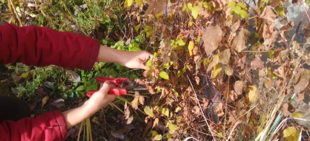 Осенняя обрезка клематисов, фото