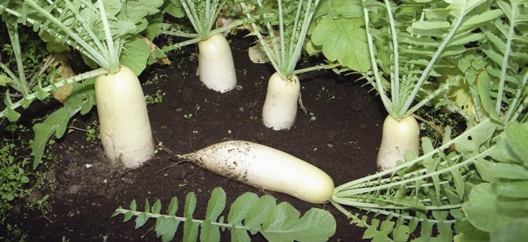 Дайкон из семян выращивания, фото