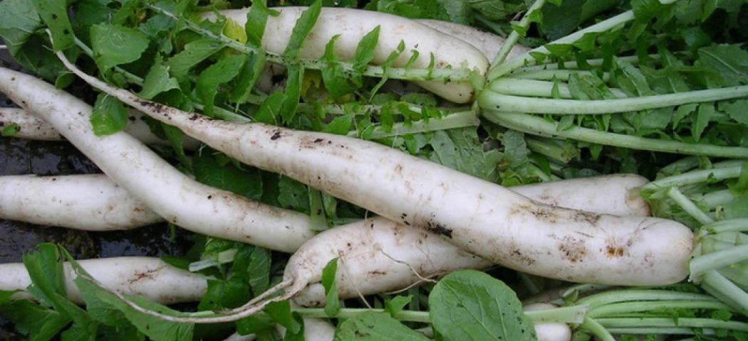 Дайкон овощное растение, фото