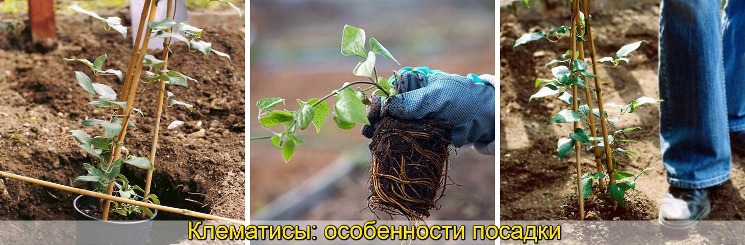 клематис посадка и уход, выращивание, фото