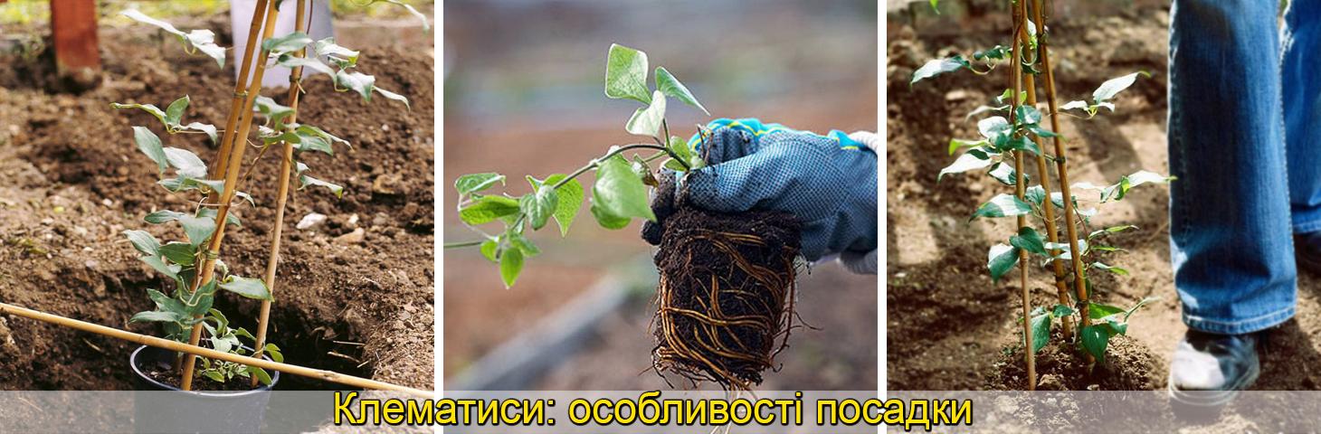 клематис посадка та догляд вирощування, фото
