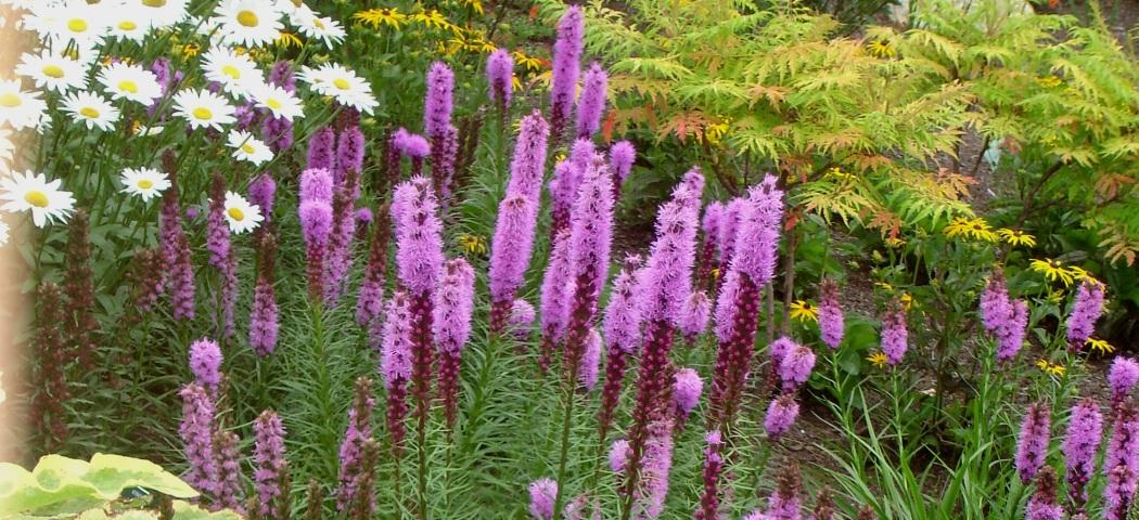 Лиатрис виды и сорта, выращивание и уход, фото