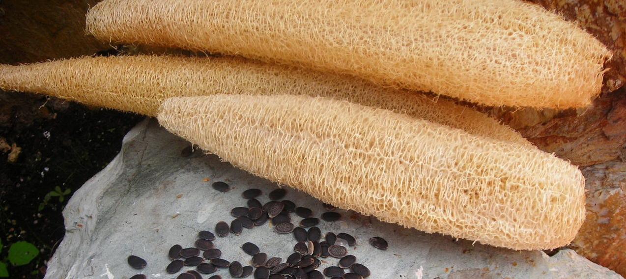 Люффа природная мочалка из семян выращивание, фото