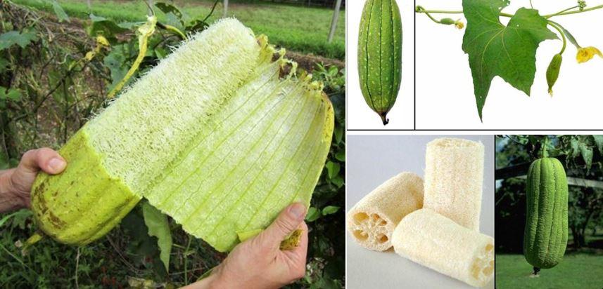 Люффа растение мочалка, семена. фото