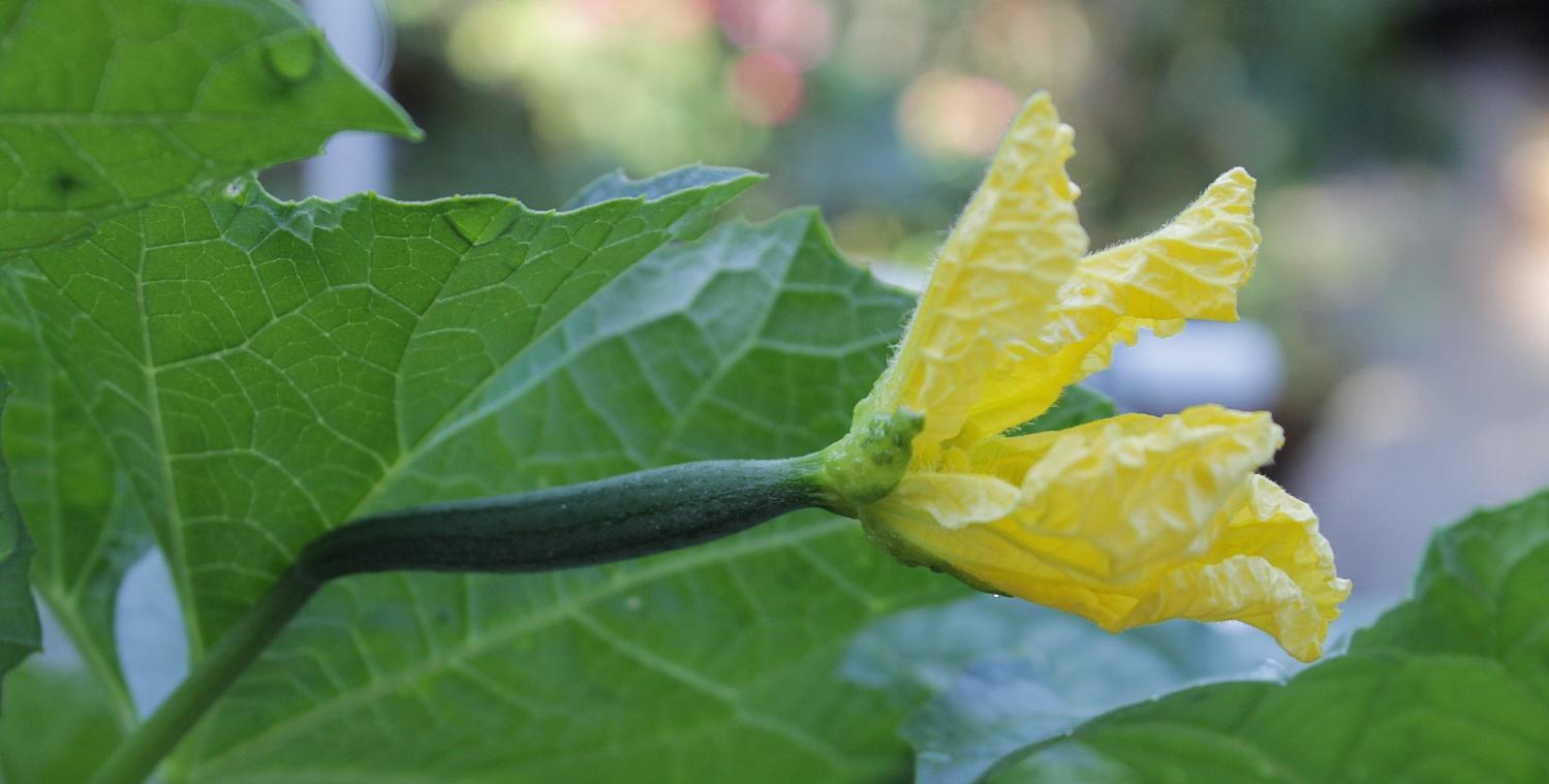Семена люффа, как вырастить дома, фото