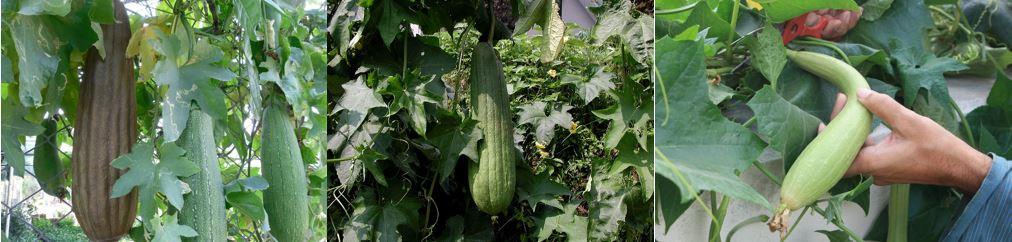 Люффа в саду из семян в домашних, фото