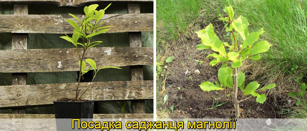 вирощування магнолії в саду, фото