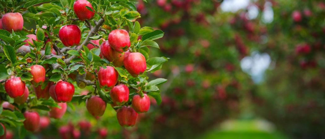 саженцы яблони груши для сада выбрать, фото