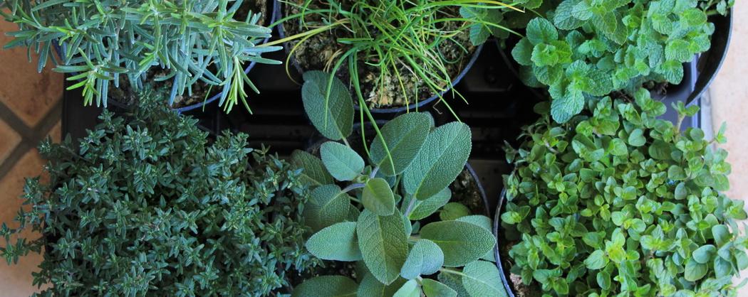Как вырастить пряные травы на подоконнике зимой, фото