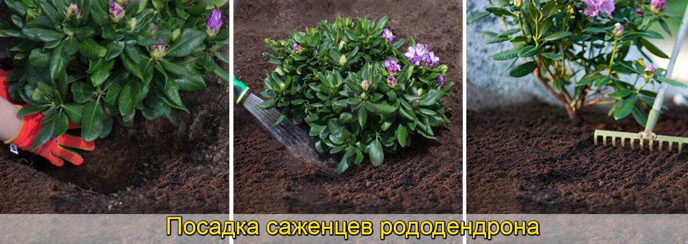 Как посадить саженцы рододендрона. фото