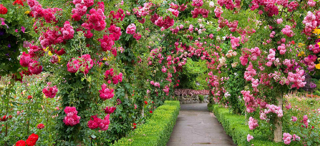 розы клаймберы и рамблеры, отличия и разница, фото