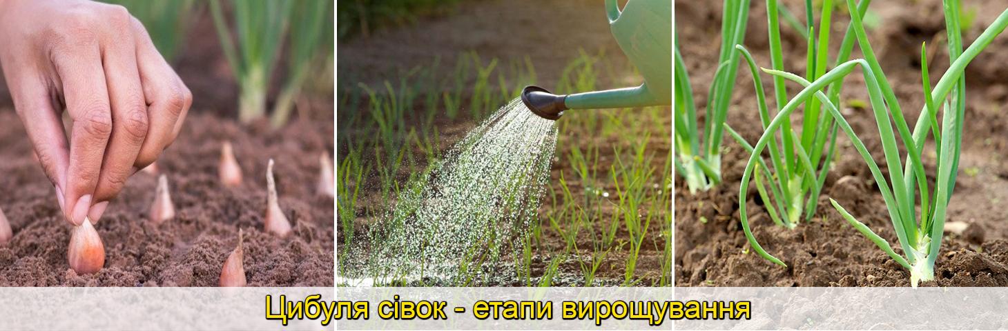 посадка цибулі сіянки великі цибулини, фото