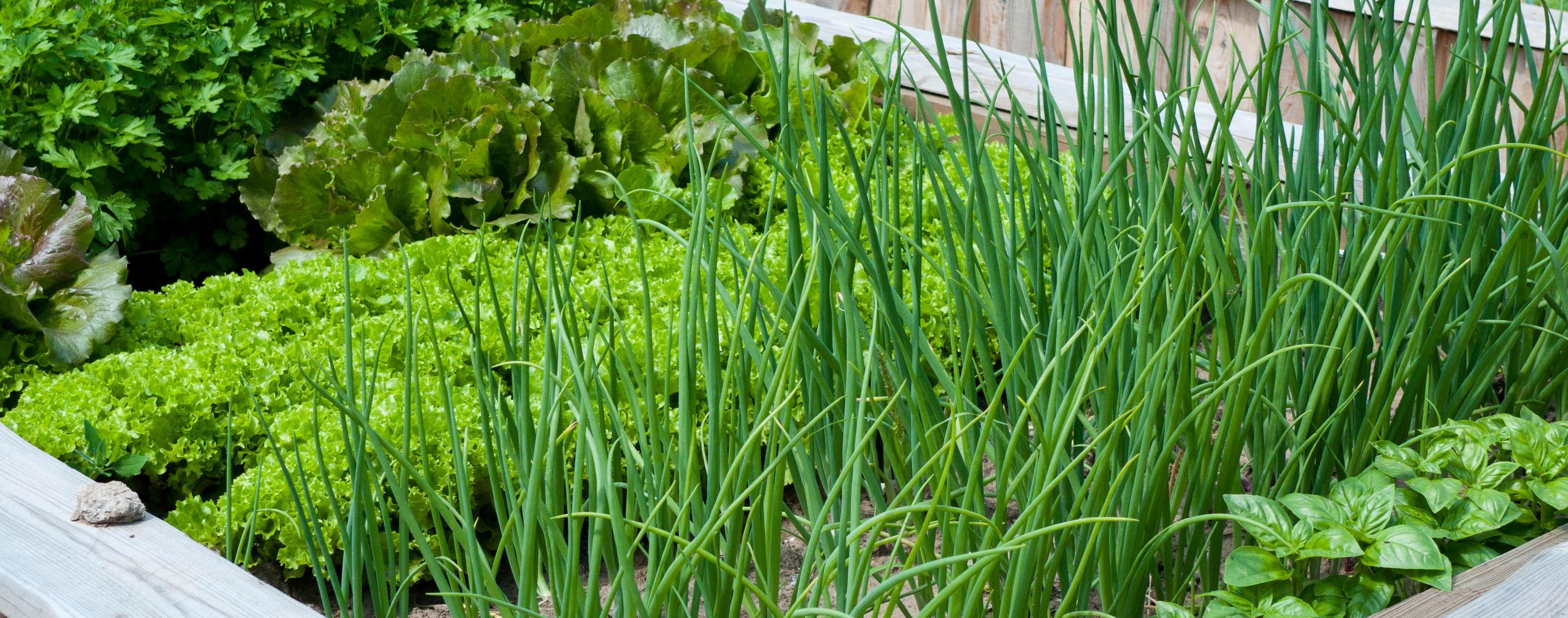 Яку зелень вирощувати на підвіконні, фото