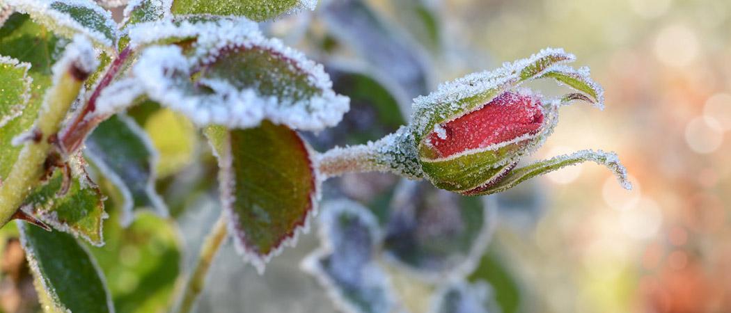 морозостійність, зимостійкість рослин для України, фото