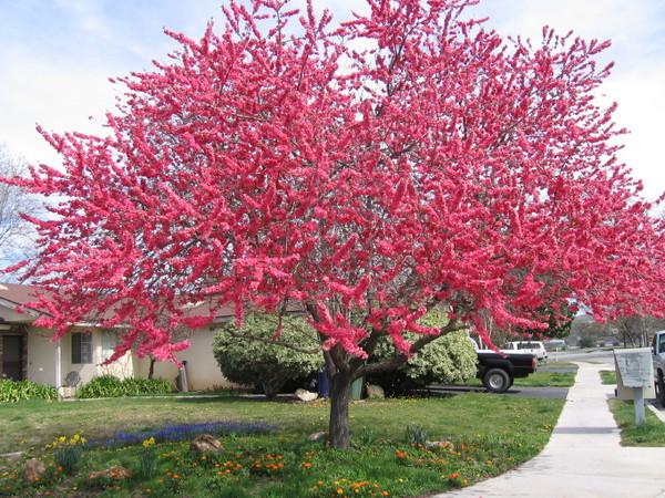 Декоративно квітучий абрикос, фото