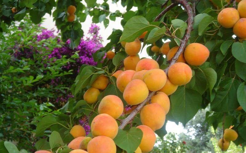 Сад абрикос, фото