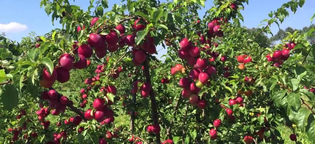 Саженцы алычи красной уход и выращивание