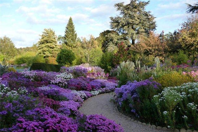 Айстра багаторічна у дизайні саду. фото