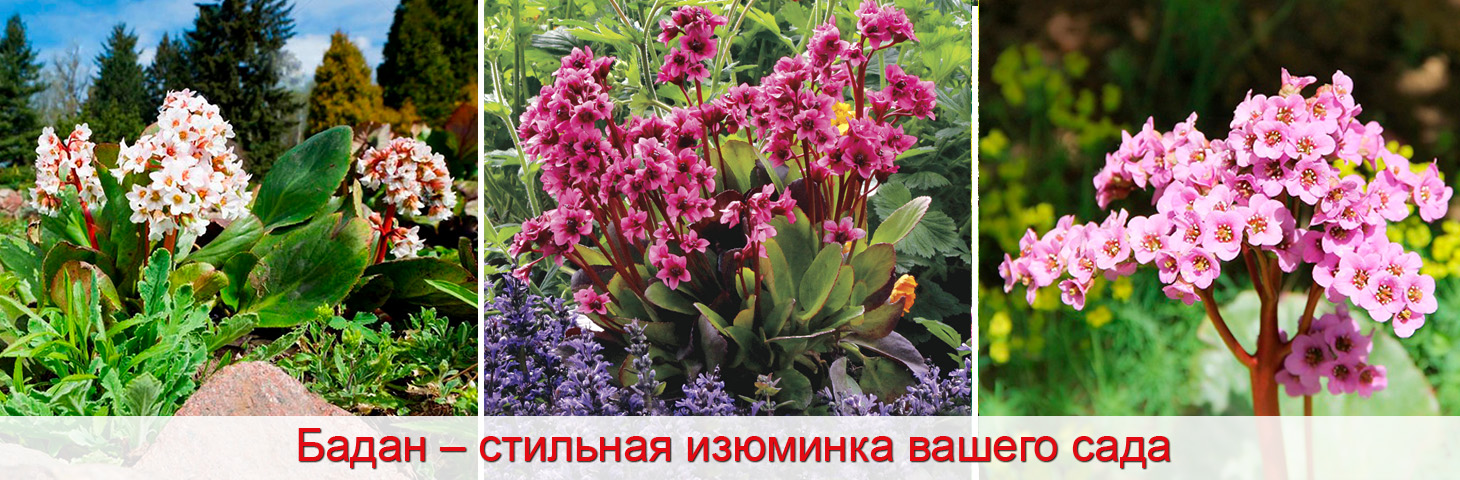 бадан в саду, как выращивать, фото
