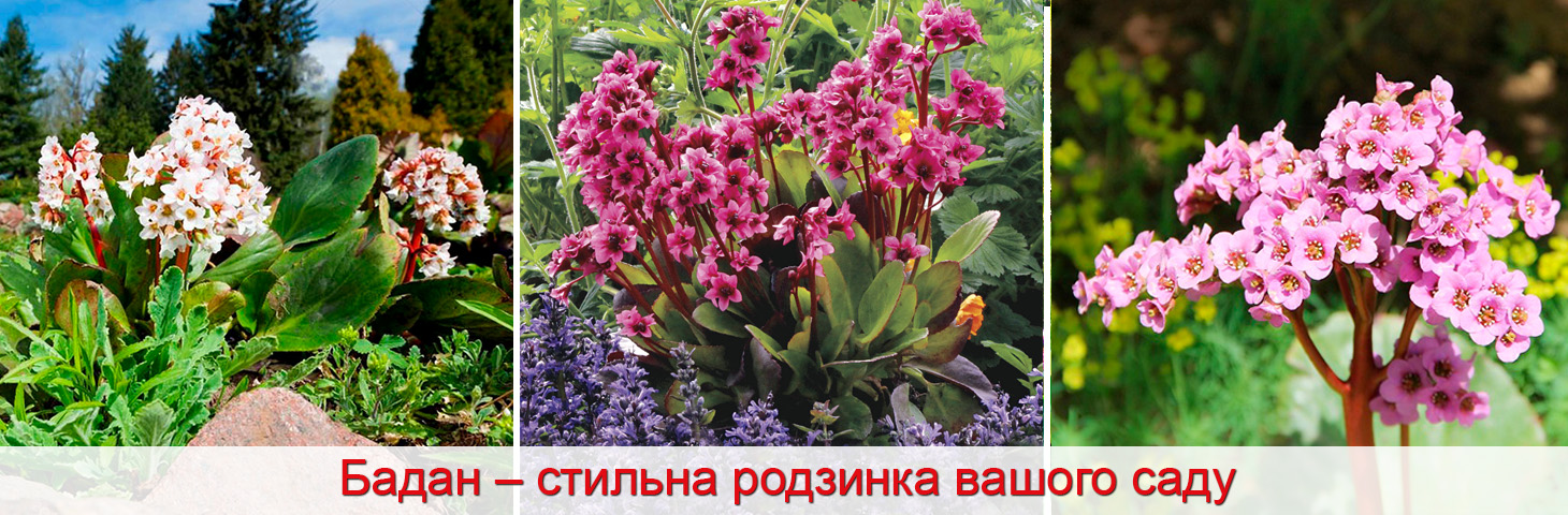 бадан в саду, як вирощувати, фото