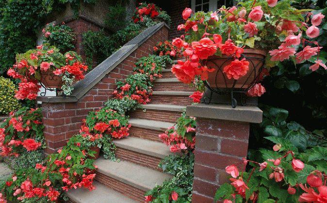 Бегонія ампельна у садовому дизайні, фото