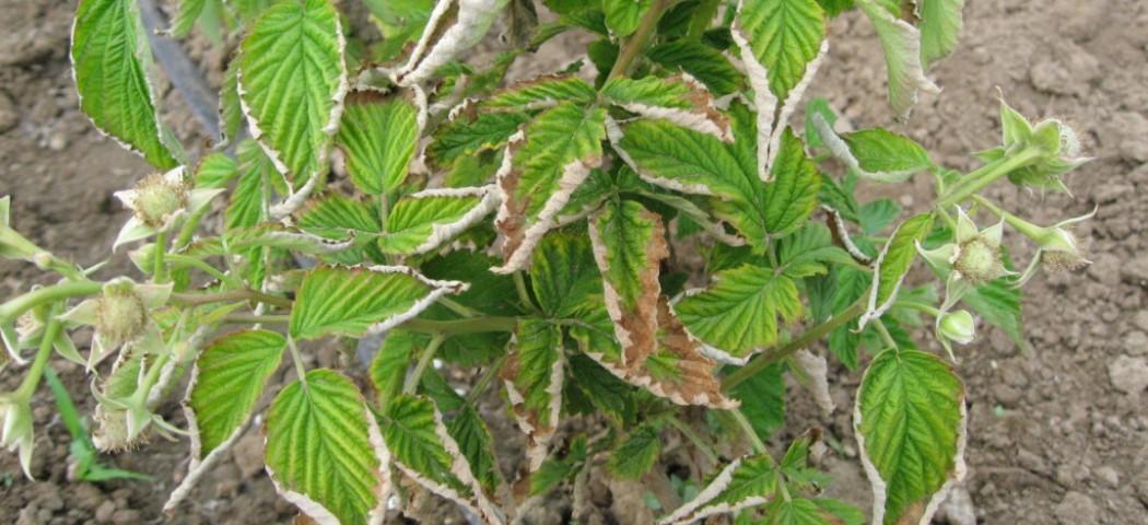 Болезни малины, правильный уход, лечение профилактика, фото