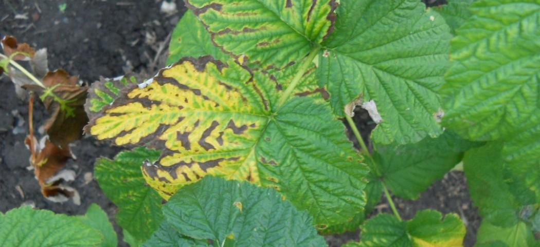 Почему желтеют листья малины, фото