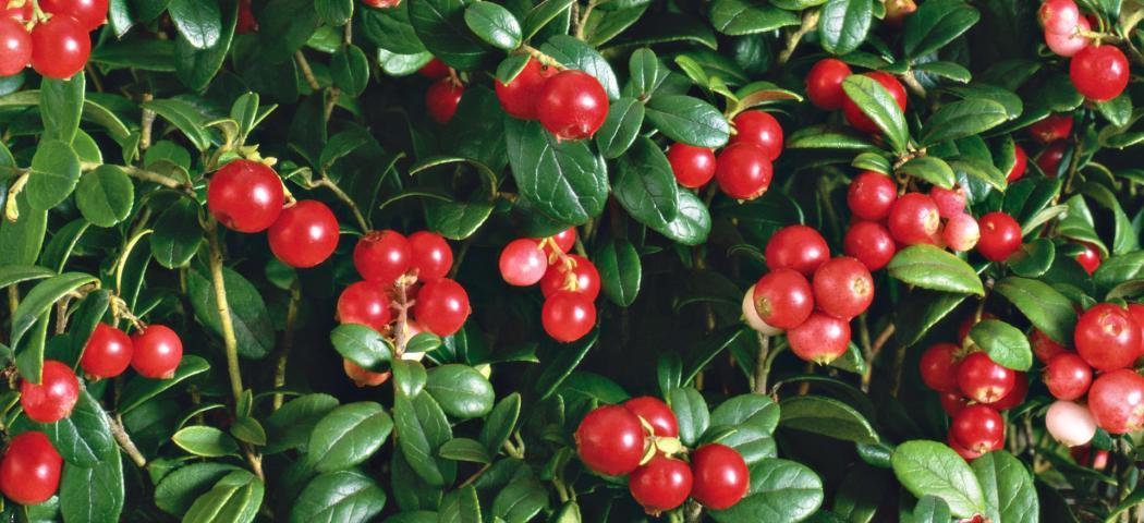 Брусника ягоды, фото