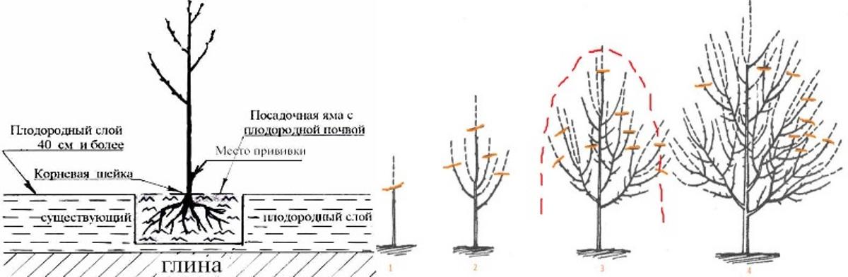 Посадка и обрезка черешни, фото