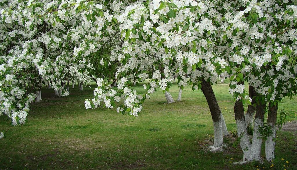 Цветущее дерево черешни, фото