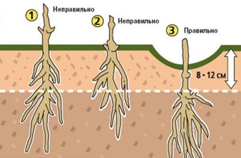 Правильна посадка клема тису – профілактика хвороб, фото
