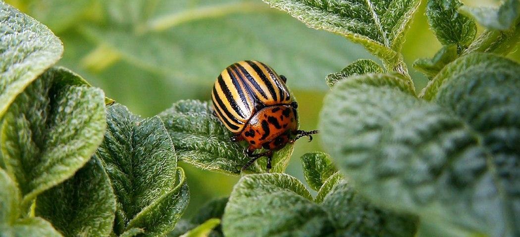 Как бороться колорадского жука, фото