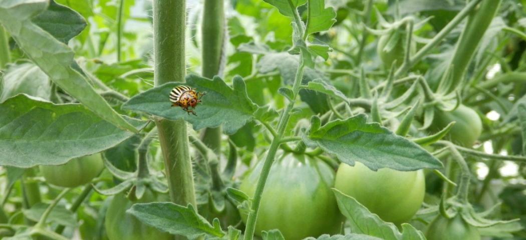 Колорадский жук на томатах и пасленовых, борьбы. фото